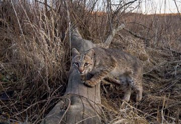 Up-close and personal with a bobcat